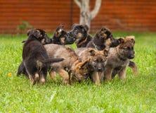 Valpar av en hund, en tysk herde arkivfoto