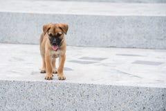 Valpar den hemlösa hunden har ingen ägare i Wat Thang saitempel på Royaltyfri Foto