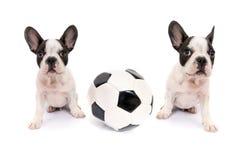 Valpar för fransk bulldogg med fotbollbollen Fotografering för Bildbyråer