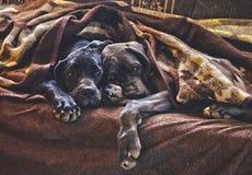 Valpar som tillsammans sover royaltyfri bild