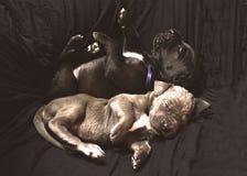 Valpar som tillsammans sover royaltyfri fotografi