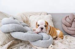 Valpen av den engelska bulldoggen ligger på vita kuddar på en soffa royaltyfria foton
