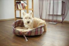 Valpen av kväv terriern Royaltyfria Bilder
