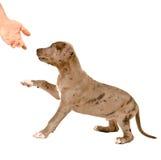Valpen av pitbull ger en tafsa royaltyfri fotografi