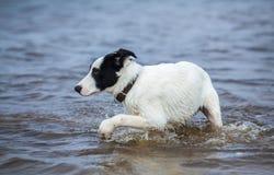 Valpen av vakthunden är rädd av vatten Arkivbilder