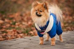 Valpen blir på trottoaren i den blåa tröjan Royaltyfri Fotografi