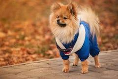 Valpen blir på trottoaren i den blåa tröjan med varma färger Royaltyfria Bilder