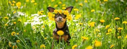 Valpen för Ð-¡ ute, en hund i en krans av våren blommar på en blomning royaltyfri foto