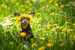 Valpen för Ð-¡ ute, en hund i en krans av våren blommar på en blomning arkivbilder