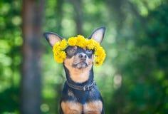 Valpen för Ð-¡ ute, en hund i en krans av våren blommar på naturliga lodisar royaltyfri fotografi
