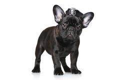 Valpen för den franska bulldoggen piratkopierar in hatten Arkivbild