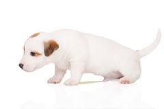 Valpen för den stålarrussell terriern kissar på vit Royaltyfria Bilder