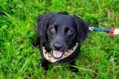 Valpen lyssnar till ägaren och utför funktioner på kommandot Lydig och intelligent hund på en gå royaltyfri fotografi