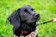 Valpen lyssnar till ägaren och utför funktioner på kommandot Lydig och intelligent hund på en gå royaltyfria foton
