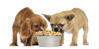 Valpen och Cavailer för fransk bulldogg gör till kung charles som mycket äter från en bunke av kex royaltyfria foton