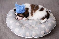 Valpen sover i en hatt på en kudde Arkivbild