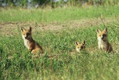 Valper för röd räv vid deras håla Royaltyfria Bilder