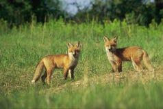 Valper för röd räv vid hålan Arkivbilder