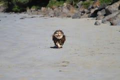 Valpkörning på sandig strand med en stick i mun Arkivfoto