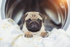 Valpmops ligger på sänglinnen i tvagningmaskinen En härlig beige liten hund är ledsen i badrummet Royaltyfri Foto