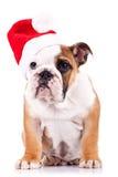 valpsanta för bulldogg engelsk sitting Royaltyfri Bild