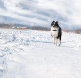 valpsheepdogshetland snow royaltyfri foto