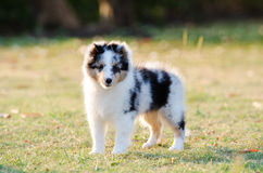 Valpshetland fårhund Royaltyfria Bilder