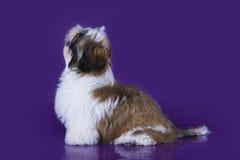 Valpshihtzu som isoleras på violett bakgrund Fotografering för Bildbyråer