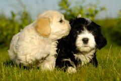 valpwhite för svarta hundar Royaltyfria Foton