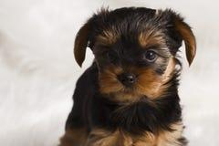 ValpYorkshire terrier i studionärbild Arkivfoton