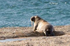 Valross av Svalbard royaltyfria bilder