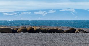 Valross av Svalbard arkivbild