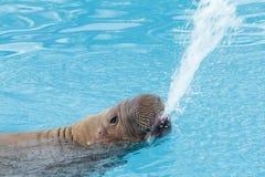 Valross i vatten Royaltyfri Fotografi