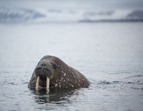 Valross i vatten i Svalbard Royaltyfri Fotografi