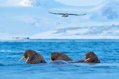 Valross Odobenusrosmarus, stort flippered marin- däggdjur, i blått vatten, Svalbard, Norge Specificera ståenden av det stora djur Royaltyfri Foto