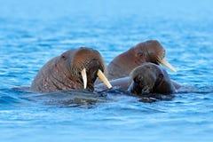 Valross Odobenusrosmarus, stort flippered marin- däggdjur, i blått vatten, Svalbard, Norge Specificera ståenden av det stora djur Royaltyfria Foton