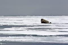 Valross på is Royaltyfri Fotografi
