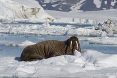 Valross på isflöde Arkivfoto