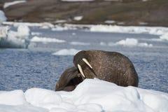 Valross på isflöde Royaltyfri Bild