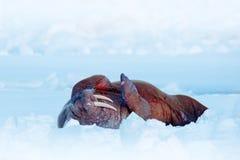 Valross på kall is med snö Valrossen Odobenusrosmarus, klibbar ut från blått vatten på vit is med snö, Svalbard, Norge Winte Royaltyfria Foton