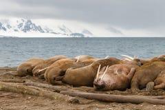 Valross på råkkolonin nära havet Arkivfoto
