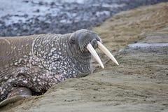 Valross på stranden Arkivbild