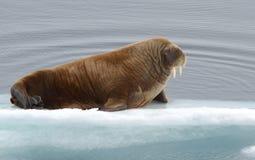Valross som driver på en isisflak royaltyfri foto