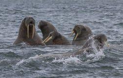 Valrossar i ett vatten i Svalbard Arkivbilder