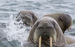 Valrossar i ett vatten i Svalbard Royaltyfri Bild