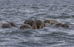 Valrossar i ett vatten i Svalbard Arkivbild
