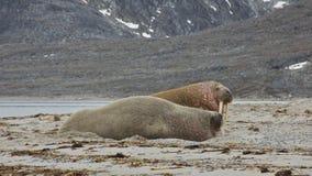Valrossar i Svalbard Arkivfoton