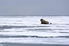 Valrossar på isen Royaltyfri Bild
