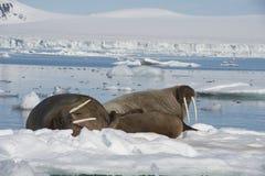Valrossar på isflöde Royaltyfri Fotografi