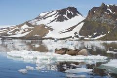 Valrossar på isflöde Arkivbilder